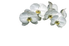 Orchids. Beautiful orchids isolated on a white background Stock Photos