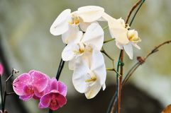 Orchidaceae, commonly known as the orchid. Stock Photo