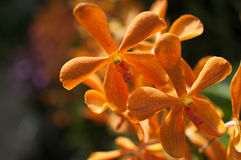 Orchids. Beautiful orange orchids on the green background Stock Photos