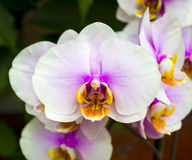 Orchids. Beautiful orchid flower arrangement with green backgrou. Nd. Vanda ,orchids, flowers, nature Royalty Free Stock Images