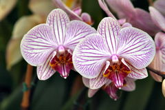 Orchids beauty 2 Royalty Free Stock Photography