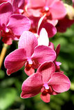 Orchids beauty in Bloom Stock Image