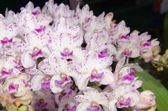 Orchids. The beauty of orchids in Thailand Stock Image