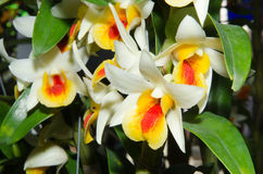 Orchids. The beauty of orchids in Thailand Royalty Free Stock Images