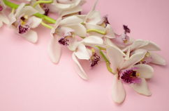 Orchids Royalty Free Stock Photography