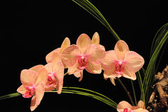 Orchids on black. Pink Orchids on dark background with green leaves Stock Images
