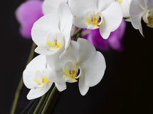 Orchids. On the black background Stock Image