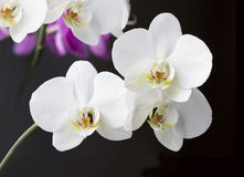 Orchids. On the black background Stock Images