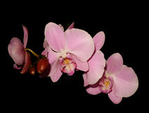 Orchids on black isolated Stock Images