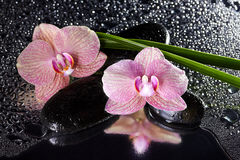 Orchids and black stones with reflection Stock Photos
