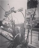 Orchids. Black and white of beautiful lobby Stock Photography