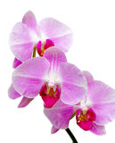 Orchids blooming branch on a white background Royalty Free Stock Image
