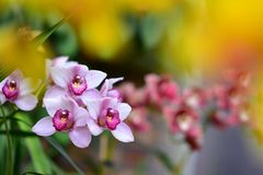 Orchids blooming during spring in Auckland Domain Wintergardens. New Zealand royalty free stock photo