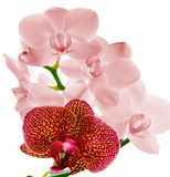 Orchids Blooms in Pink and Magenta. Magnificent Phalaenopsis Orchids at full bloom Royalty Free Stock Image