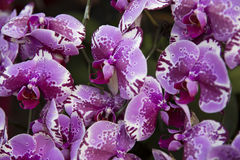Orchids blossom Stock Photos