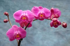 Orchids on blue Royalty Free Stock Photo