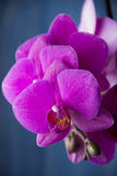Orchids on blue background Royalty Free Stock Photography
