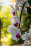 Orchids on blurry background Royalty Free Stock Photos