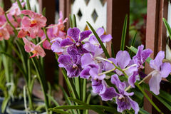 Orchids in botanical garden at Kuala Lumpur Stock Photography
