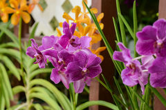 Orchids in botanical garden at Kuala Lumpur Royalty Free Stock Images