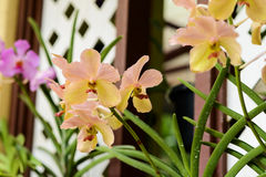 Orchids in botanical garden at Kuala Lumpur Royalty Free Stock Image