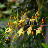 Orchids Brassia big spider Royalty Free Stock Photos
