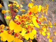 Yellow orchids. Flowers bloom season for happiness refreshing period of the beautiful Stock Photos
