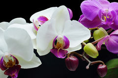 Orchids and buds. White orchids with purple throats, purples orchids with green and purple buds stock photo