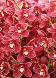 Orchid cimbidium flowers Stock Image
