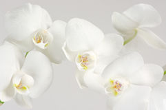 Orchids close-up Royalty Free Stock Photo