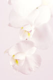 Orchids close-up Stock Image