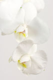 Orchids close-up Royalty Free Stock Photos