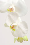 Orchids close-up Stock Images
