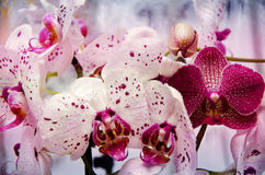 Orchids close-up in drops of water. Lovely white and purple orchids in water droplets stock image