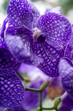 Orchids close up / soft ethereal feel. Orchids close up / soft ethereal feel royalty free stock photos