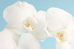 Orchids close-up Stock Photography