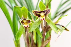 Orchids closeup in spring. Beautiful cymbidium goeringii blossom in spring , orchids closeup background Royalty Free Stock Image