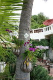 Orchids in coconut planters on a palm tree Stock Photo