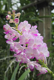 Orchids. Colorful orchids There are many different strains stock image