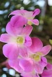 Orchids. Colorful orchids There are many different strains Royalty Free Stock Photos