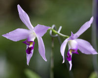 Orchids. Cultivated, grown in a garden stock images