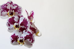 Natural Orchids. Delicate Purple Beautiful Orchids, indoor Stock Images