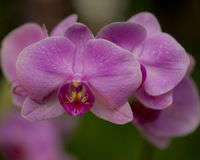 Orchids and dew. Cultivated in a garden royalty free stock images