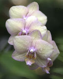 Orchids. And Dew Drops, Cultivated, in a garden Stock Photo
