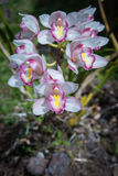Orchids in Doi Inthanon National Park,Chiangmai,Thailand Stock Photos