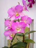 Orchids everywhere. Pink sweet flowers bloom and blossom adorned wall ventilation Stock Photos