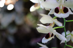 Orchids flower on background Royalty Free Stock Photo