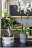 Orchids in Flower Pots in modern kitchen stock photo