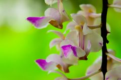 Orchid flowers are withering. Orchids are flowering for a while, then some flowers will begin to wither Royalty Free Stock Image