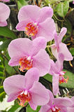 Orchids flowers Royalty Free Stock Photography